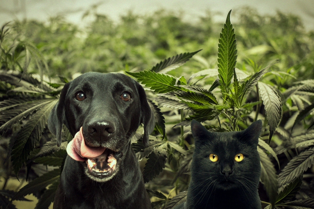 Cannabis for dogs and cats