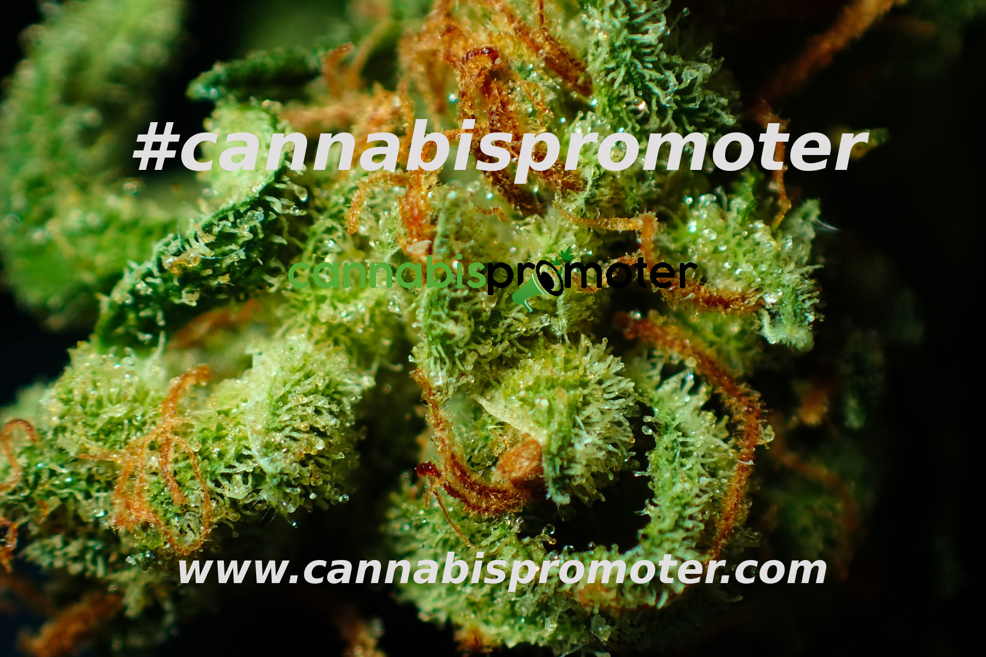 Cannabis Influencer - Cannabis Promoter
